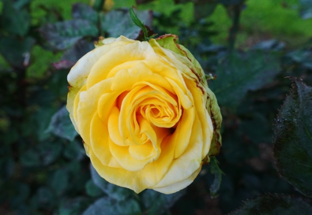 St. Patrick Rose Bush, Yellow Rose, Hybrid Tea, Roses
