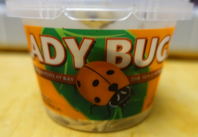 Ladybugs, Aphid control, rose bushes