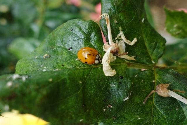roses, ladybug, ladybugs, pest control