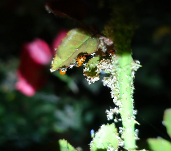 ladybugs, aphids, rose bushes, pest control