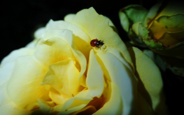 Rose at night, ladybug, aphid control