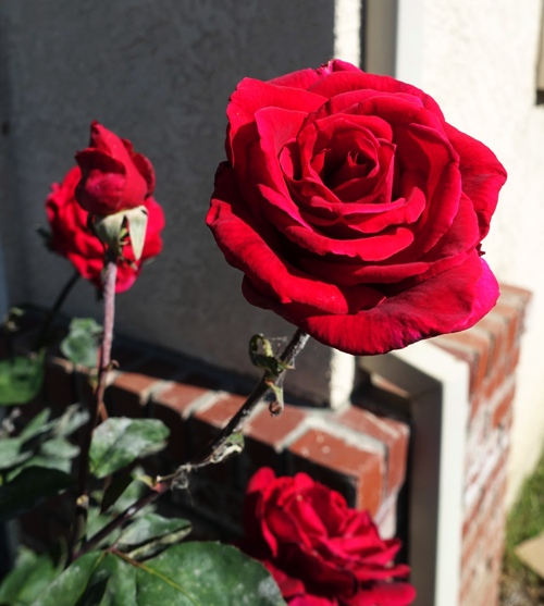 Red roses, rose garden, roses are red, rose blooms