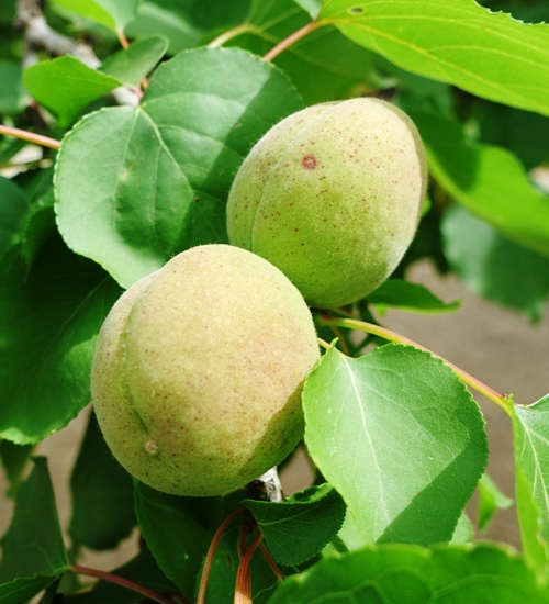 Ripening Apricots, Central Valley Orchards, Fruit Trees