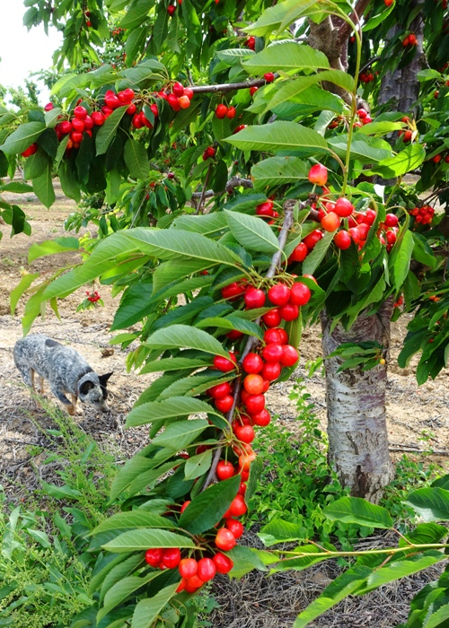 Ripening Cherries, Cherry Orchard, Cherry Trees, California Central Valley