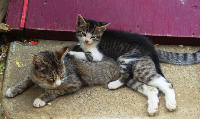 Kitten, Mother Cat, Barn Yard Cats