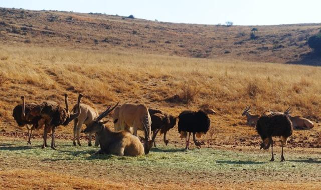 South Africa, Eland, Largest Antelope