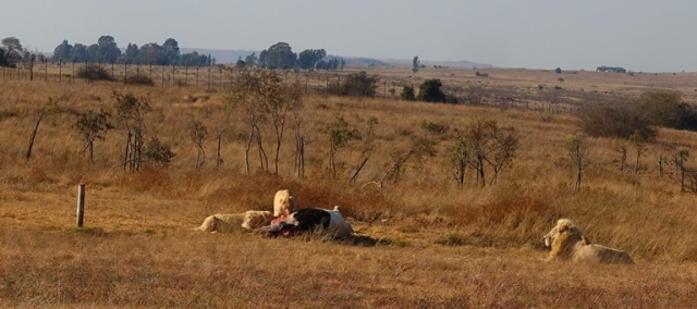 White Lions, South Africa, Lion Park
