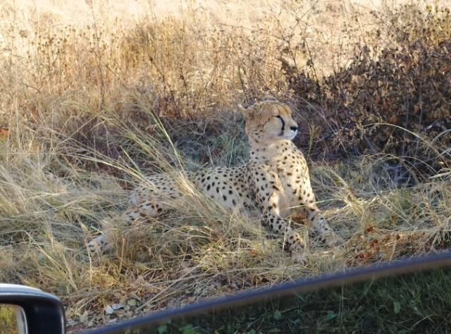 Cheetah, South Africa, Nature Preserve