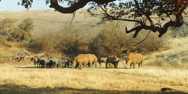 Rhinos, south Africa, White Rhinoceros