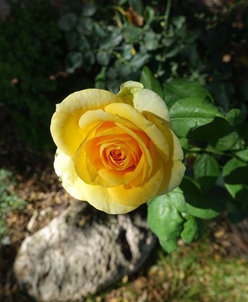 Yellow Rose, Rose bushes