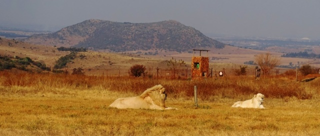 White Lion, South Africa, Lion