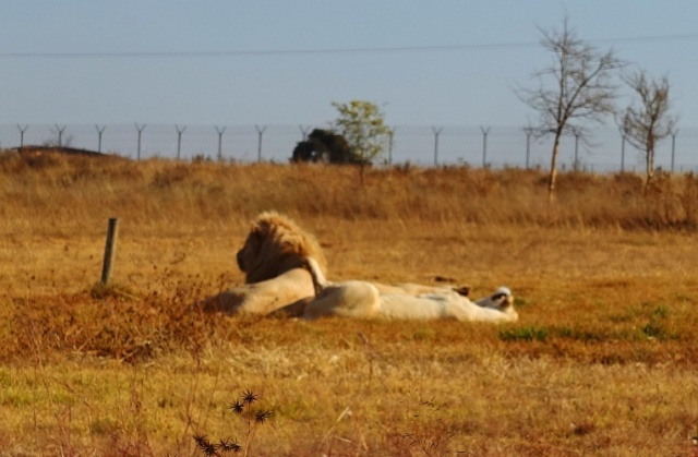 South Africa, White Lions, Lion and Lioness