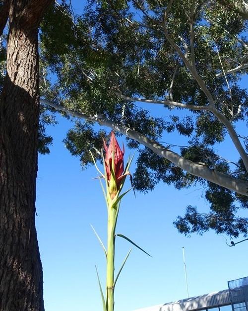 gymea lily, australian flowers, gardens, lilies