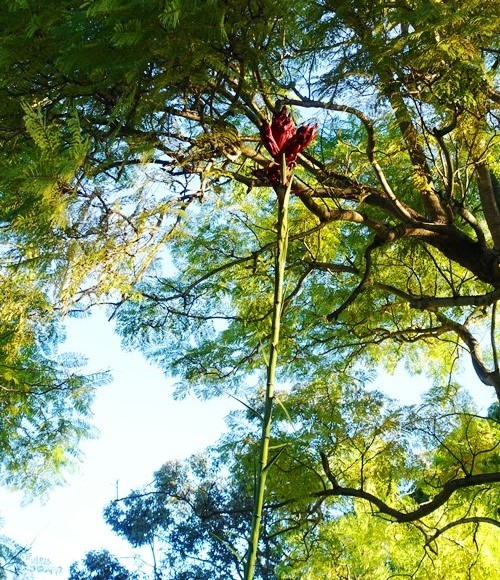 Tall australian lily, gymea lily, doryanthes excelsa, New South Wales