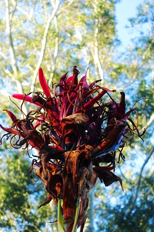Gymea lily, red lily, australian lily, spike lily