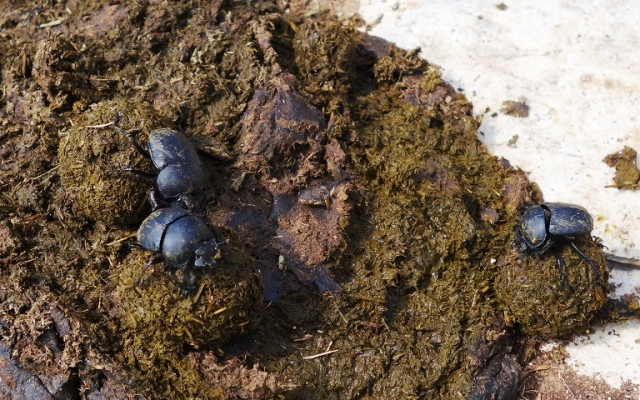 Dung Beetles, Turkey, tarsus, roman road, dung