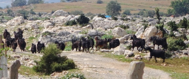 Black goats, Tarsus, Roman Road, Turkey