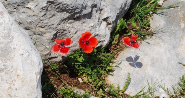 Red poppies, roman road, tarsus, flora and fauna, turkey