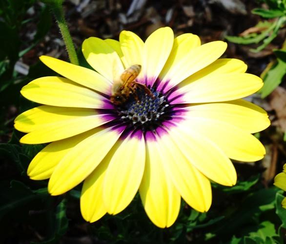 Bee, Yellow Daisy, Purple Center, Australia, Pollinators
