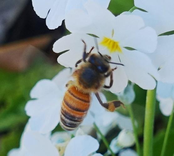 White Flowers, Bees, Pollinators, Honey Bees, Australia, Royal Botanic Gardens