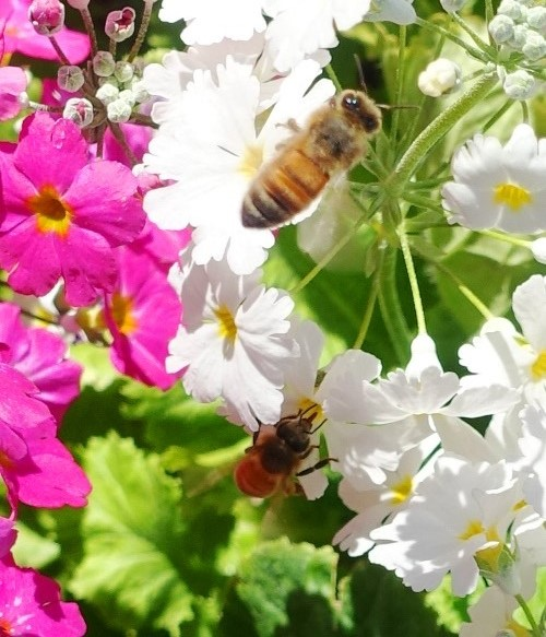 Down Under Bees, Pollination, Royal Botanic Gardens, Honey Bees