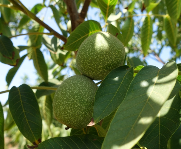 Walnut Orchard, walnuts, agriculture