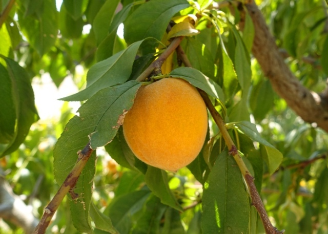 apricot, orchard, fruit