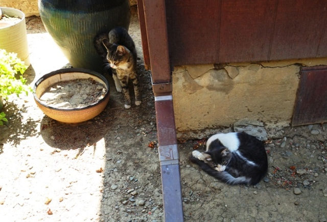 Cats, hot day, laying in shade, hiding cats