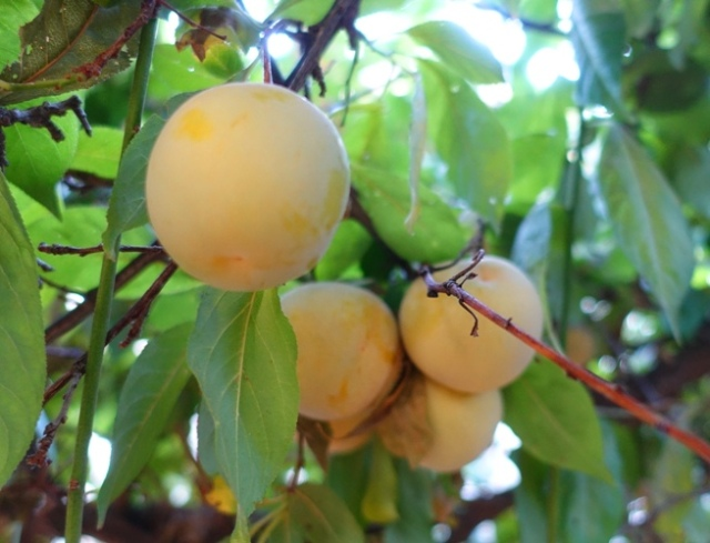 Pluots, plum, apricot, smooth skin apricot