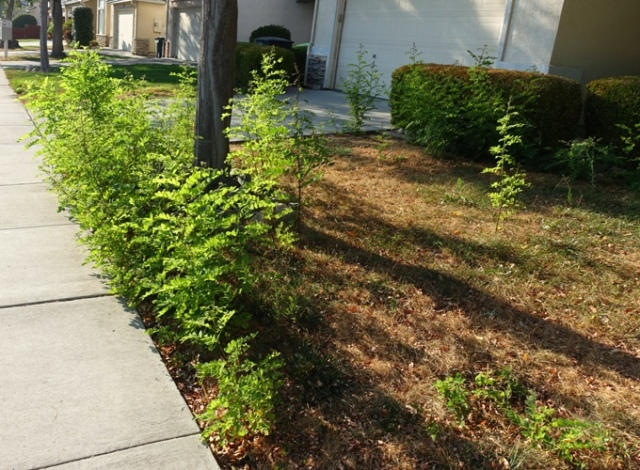 Volunteer trees, no water, neglected lawn