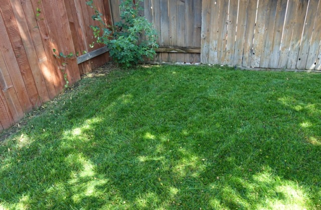 Backyard grass, green grass, summer grass