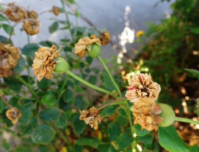 Roses, Spent Roses, Dead blossoms, rose hips