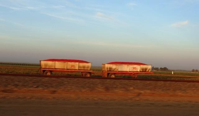 Tomatoe Hoppers, Tomato trucks, tomato harvest