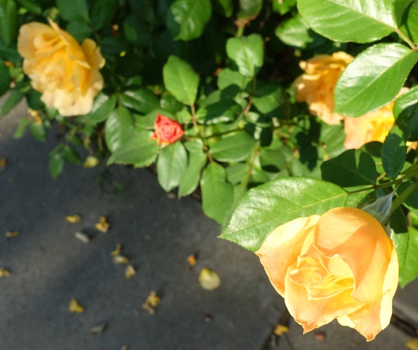 Red rose, yellow rose, wrong color rose