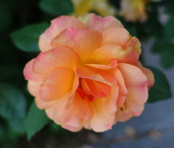 Pinkish red rose, Yellow Rose Bush, Wrong Color Rose