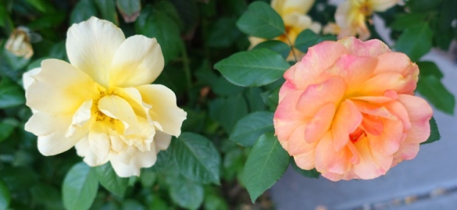 two color roses, same bush, wrong rose color