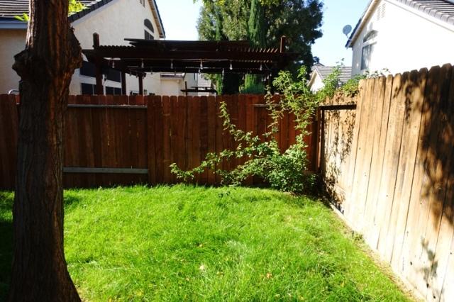 Overgrown Back yard, rose bush, yard work