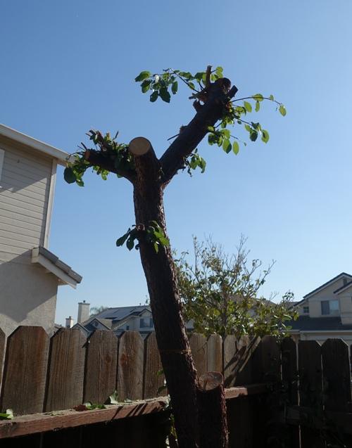 Cutting back tree, yard work