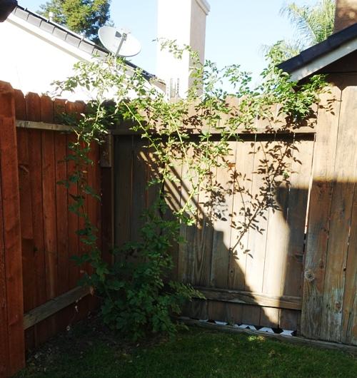 Pruned rose bush, yard work