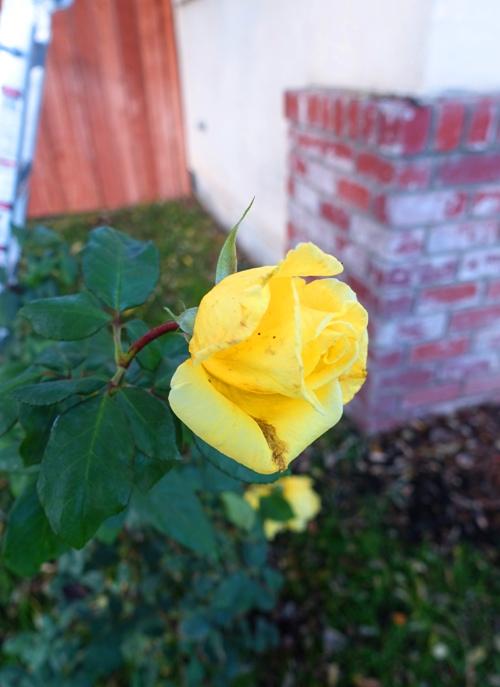 November Roses, California, Yellow Rose