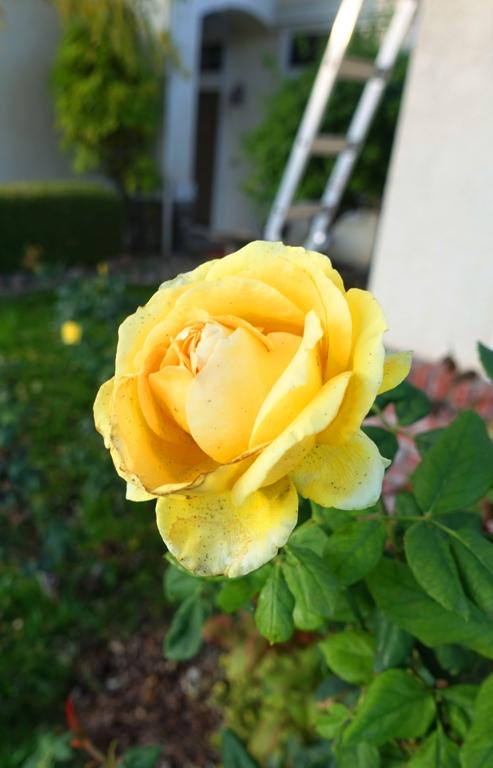 California, Roses, Rose Bush, November Roses
