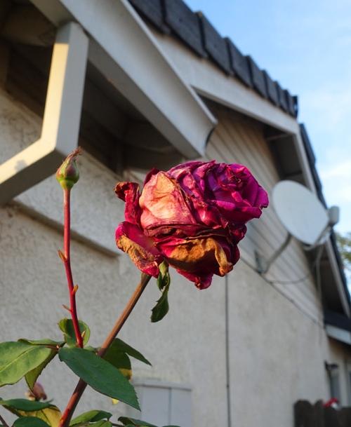 Mr. Lincoln Rose, November Rose