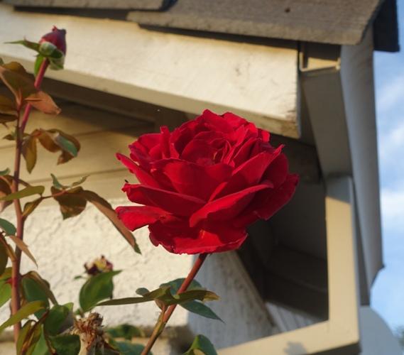 Red Rose, Mr. Lincoln, November Rose