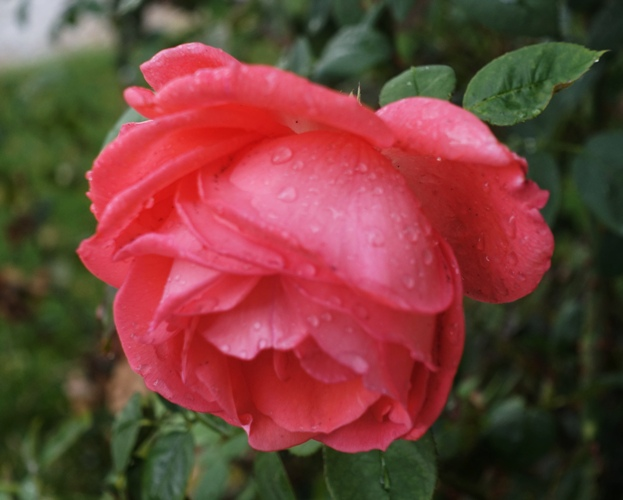 Raindrops on roses, favorite things, Sound of Music, Sound of rain