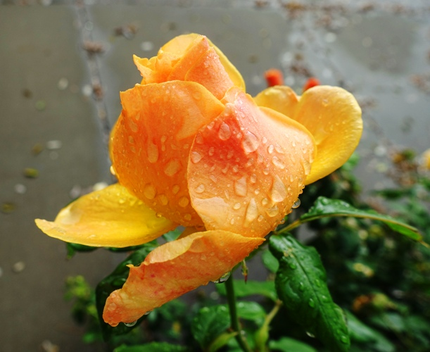 raindrops on roses, rainy season, california, roses