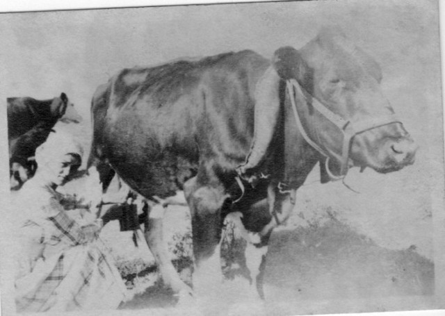 Old Time Photography, Cow, Milk Maid, Ma and Cow