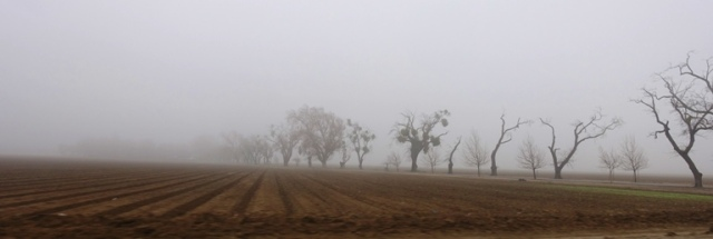 Foggy Valley, Central Valley, Trees in Fog