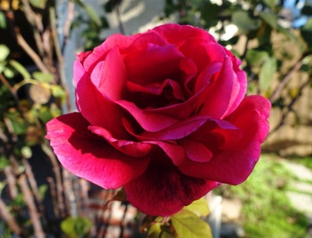 Red Rose, Mr. Lincoln Rose, Winter Rose