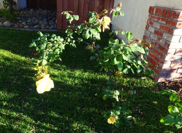 Yellow Rose, Bloom in Sun, roses