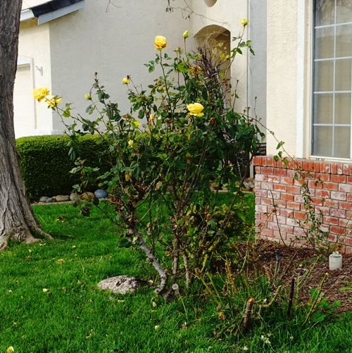 Last roses of the season, rose bushes, St. Patrick, pruning, winter roses